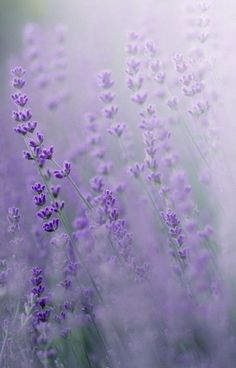New Flowers Photography Wallpaper Nature Fields Ideas Lavender Blue, Lavender Fields, Lavender Flowers, Purple Flowers, Beautiful Flowers, Lavander, Lavender Plants, Boquette Flowers, Lavender Colour