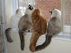Ragdoll Cats - Bing Images   Ein zauberhaftes Bild