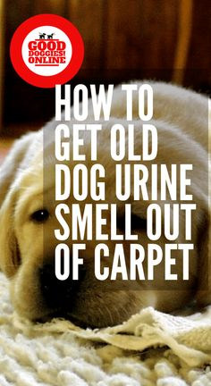 How to Get Old Dog Urine & Pee Smell Out of Carpet - Good Doggies Online , How to Get Old Dog Pee Smell Out of Carpet. Whole house smell like dog urine? It's probably in the carpet. Check out these pet owner cleaning hacks to get it out. Cleaning Pet Urine, Pet Odors, Cleaning Carpet Pet Stains, Pet Urine Cleaner, Removing Dog Urine Smell, Ear Cleaner, Urine Smells, Dog Smells, Dog Pee Smell