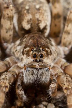Wolf Spider. Although I DO NOT like spiders, they are amazing.