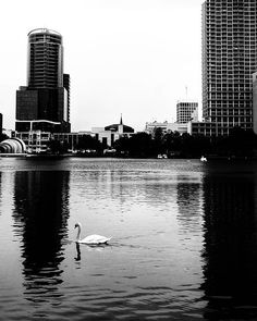 A walk around #LakeEolaPark in downtown Orlando is so relaxing . . . #teampixel #androidphotography #ig_picoftheday #igersorlando #picoftheday #blackandwhitephoto #citybeautiful #travel #streetphotography #thecitybeautiful #Orlando #Florida #nature #park #lake #bird #avian #blackandwhitephoto #photography #bnw_life #bw_society #bnwphotography #monochrome #black #white #swan #city