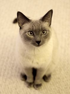 .Siamese Cat.
