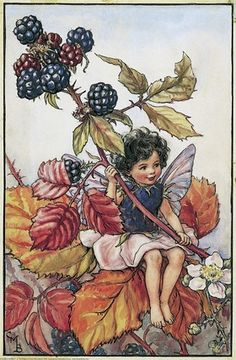 Illustration for the Blackberry Fairy from Flower Fairies of the Autumn. A young girl fairy sits in a blackberry bush holding a frond of berries.    Author / Illustrator  Cicely Mary Barker