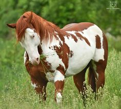 Pretty musclar Paint Horse with gorgeous colors and markings standing if a field of tall green grass.