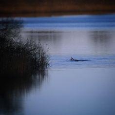 Er det mon et lokalt Søholm Sø Loch Ness-uhyre eller bare fugle der har fundet ud af at det er forår... #outdoor #nature #landscape #bestofscandinavia #worldunion #igers #igdaily #igscandinavia #danmark #nofilter #vsco #vscocam #picoftheday #photooftheday #instagood #instamood #instadaily #assens #assensnatur #visitassens #instapic #instagram #friluftsliv  #fynerfin #vildmedfyn #mitassens #lochness