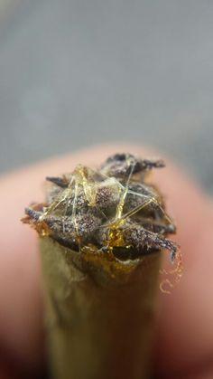 Purple Kush Caviar Blunt | 5280mosli.com -Organic Cannabis College-