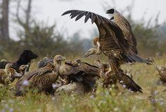 Vulture battle for a cow carcass