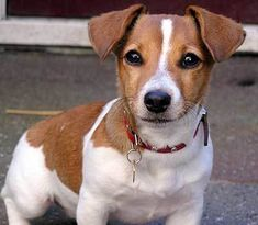 The Corgi Jack Russell Mix (Cojack): Facts/Information Jack Russell Mix, Jack Russell Terrier, Corgi Mix, Bow Wow, Funny Dogs, Dog Breeds, Corgis, Facts, Animals