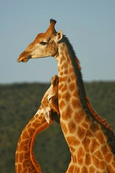 Sweet Giraffes   A1 Pictures