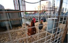 Are You the Only Person Not Raising Chickens in the City? Gardenista