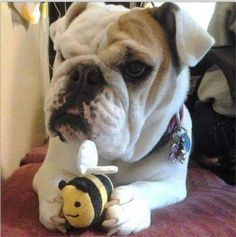 Show your support for Southern California Bulldog Rescue by voting for petunia in the No Bulldog Left Behind