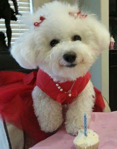 My beautiful Bichon Suzie Q on her 1st birthday.