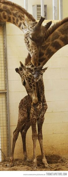 These giraffes are so cute :)