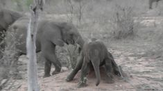 Baby Elephant make a plan to scratch himself at a place where you don't what to scratch. Videos taken on my visits to Kruger National Park in South Af. Kruger National Park, National Parks, Baby Elephant, Elephants, Animals, Elephant Baby, Animales, Animaux, Animal