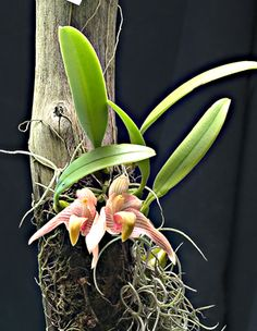 Sunipia bicolor - Orchid Forum by The Orchid Source