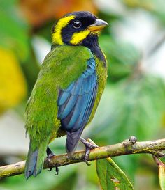 Feb 28, 2012, American Bird Conservancy (ABC), World Land Trust (WLT), and their Colombian partner Fundación ProAves, have inaugurated a new reserve to protect one of the last strongholds for the endangered Gold-ringed Tanager. Worldwide, the bird is known to inhabit only five locations, all along 150 miles of ridge top on the Pacific slope of the western Andes of Colombia. YAY!
