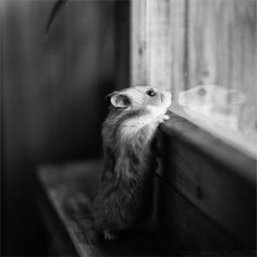 Little hamster trying to look out the window / Adorable and Cute Animals Cute Creatures, Beautiful Creatures, Animals Beautiful, Cute Baby Animals, Funny Animals, Cute Hamsters, Little Critter, Tier Fotos, Mundo Animal