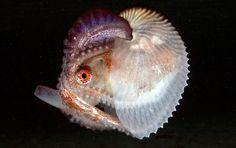 paper nautilus - Google 検索