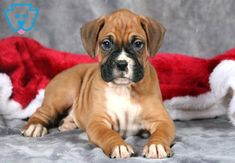 This Boxer puppy is looking for a family to love him! He has a nice build and an adorable face. Boxer Puppies For Sale, Dogs And Puppies, Travel Humor, Lhasa Apso, Blog Design, Animal Tattoos, Wedding Humor, Art And Architecture, Pitbulls