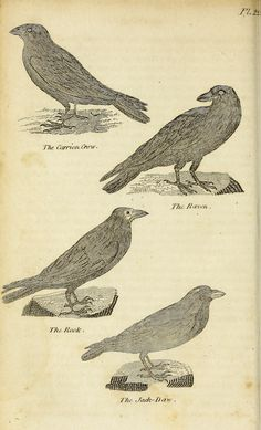 """""""The carrion crow, the raven, the rook and the jack daw."""" New, complete and universal natural history of all the most remarkable quadrupeds, birds, fishes, reptiles, and insects in the known world, v.2. 1818."""