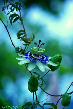 Passiflora By Hale