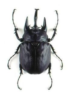elephant beetle - Google Search