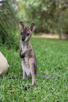 Remember this little guy? He's Healesville Sanctuary's first Red-necked Wallaby joey of the season, our keepers have been getting to know him and have decided to name him Benjamin. Benjamin is just beginning to explore the world outside his pouch and loves these warm sunny days.