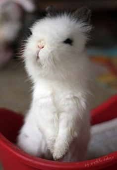 I really really want one of these gorgeous Lionhead Bunnies!!!