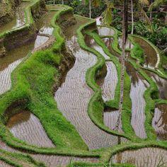 Las terrazas de arrozales de Jatiluwih en Bali uno de los mayores atractivos turísticos de la isla.