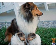 Sheltie mom and puppies