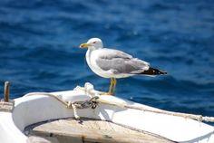 Il gabbiano seduto su un naso di una barca da pesca Archivio Fotografico - 13656199