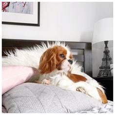 "Finn the Cavalier King Charles Spaniel puppy Lee Rachel (@leerachel) on Instagram: ""Happy Friday Eve from little Finn """