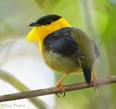 キノドマイコドリ   Golden-collared manakin (Manacus vitellinus)