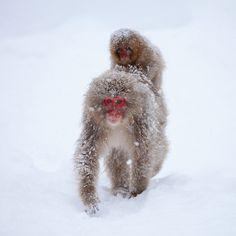 "In the snow   Snow monkey at ""Jigokudani hot-spring"" in Nagano, Japan Primates, Kyoto, Jigokudani Monkey Park, Japanese Monkey, Baby Animals, Cute Animals, Wild Animals, Japanese Macaque, New World Monkey"