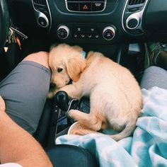 golden retriever puppy going for a ride in the jeep