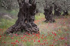 2000-year-old olive trees