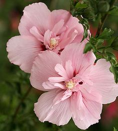 Pink Chiffon Rose of Sharon Will work in garden container