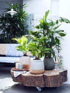 Green living Let's get tropical: exclusive palms – Living … - Inen Garten Decoration Plante, Palm Plant, Palmiers, Interior Plants, Fan Palm, Design Your Home, Tee Design, Plant Decor, Houseplants