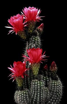 Cactus and Succulents 61 Exotic Plants, Exotic Flowers, Amazing Flowers, Beautiful Flowers, Cacti And Succulents, Planting Succulents, Planting Flowers, Succulent Planters, Hanging Planters