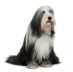 Where does the Bearded Collie come from? | Bearded Collie Dogs and Puppies | Dog…