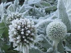 Image result for echinops in frost Frost, Dandelion, Garden, Flowers, Plants, Image, Garten, Dandelions, Lawn And Garden