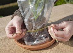 Le dahlia, une bouture de pousse facile à réaliser