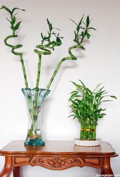 A Houseplant That Grows In Water: Lucky Bamboo Care Tips. This plant is great for beginning gardeners! A video guides you through.