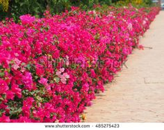 stock-photo-bougainvillea-growing-along-the-corridor-beautiful-magenta-bougainvillea-paper-flowers-in-colorful-485275423.jpg (450×358)