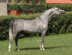 Arabian - stallion Poganin