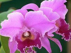 Orquidea, national flower of Venezuela