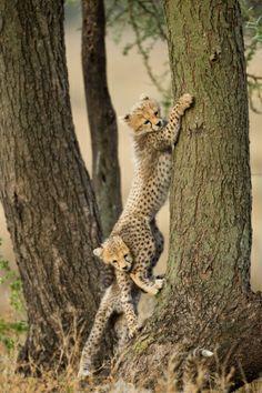 Cheetah Cubs In Tree Ngorongoro Tanzania