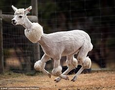 Crazy alpaca shearing