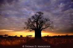 Its towering branches spread like arms across the savannah, embracing all who come seeking shelter, nourishment and support for their lives; this is the lore of the baobab tree.<br /> Tarangire National Park, Tanzania