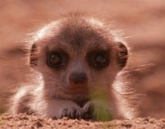 a close up photo of an adorable baby meerkat